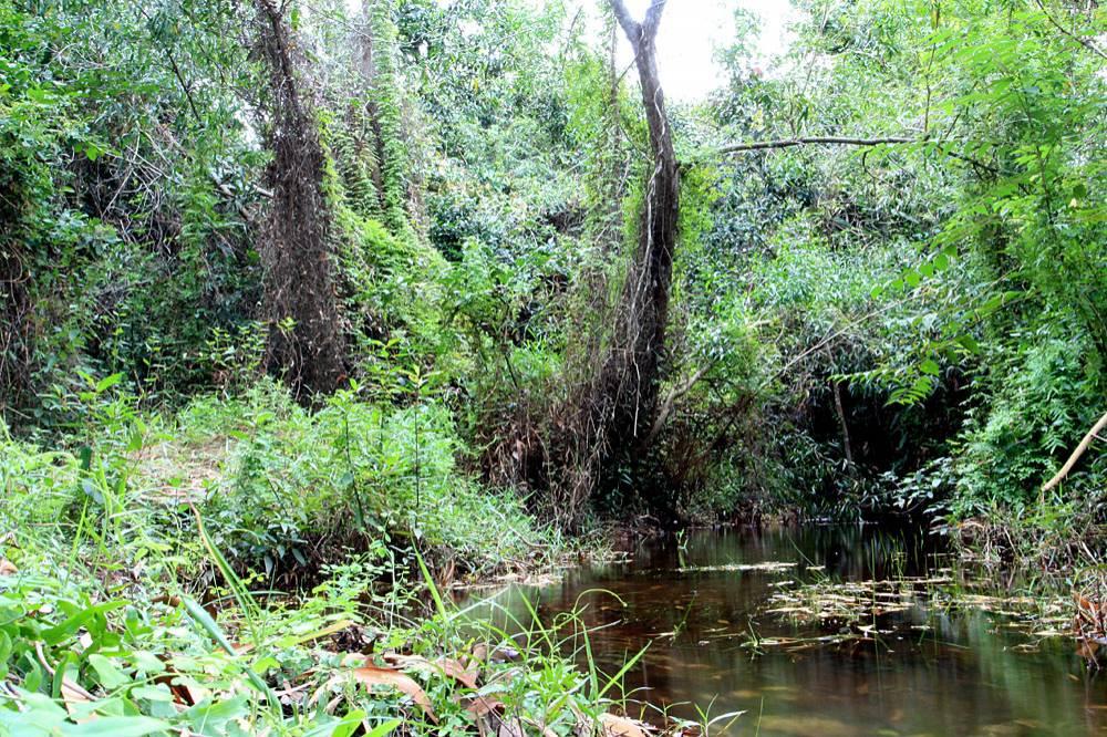 Небольшая лесная речка на северо-западе острова. Фотография сделана в нескольких сотнях метров от выхода в море. Речка является домом для большой популяции аплохейлусов (Aplocheilus panchax).