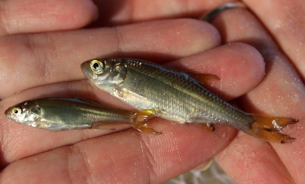 Помимо аплохейлуса здесь нами также были выловлены неизвестные нам серебристые рыбки. Возможно, это молодь Ilisha megaloptera.