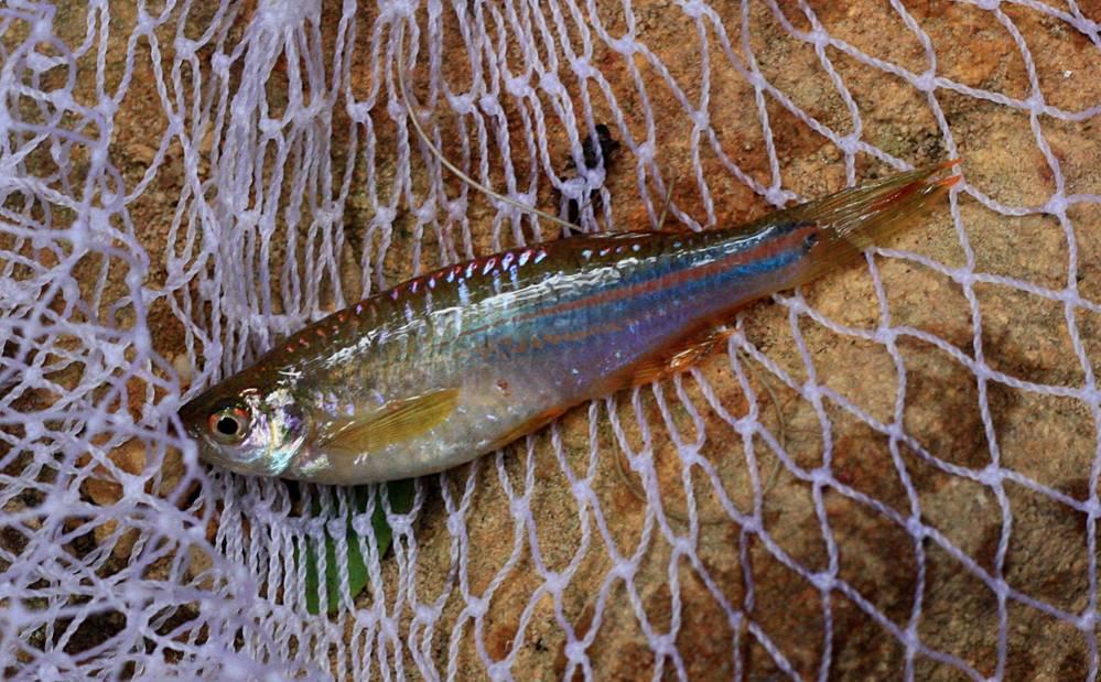 Особо ярким экстерьером отличались жемчужные данио (Danio cf. albolineatus), которые носились по всему ручью немногочисленными стайками.