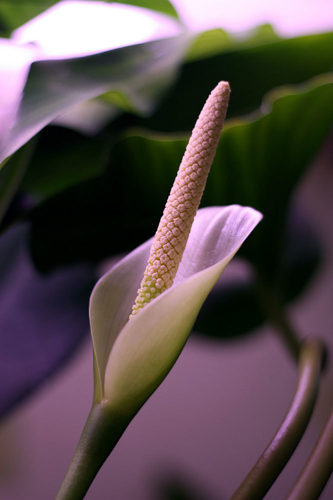 Inflorescence of Anubias afzelii. Second day