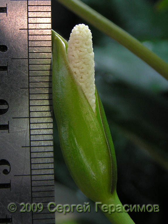 Inflorescence of Anubias gilletii has size up to 3.5 cm