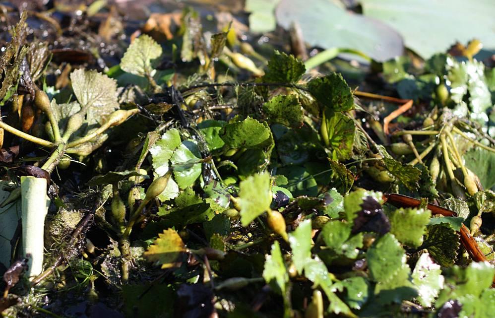 Мотор лодки нарушил плотный ковер из водяного ореха (Trapa natans). На черешках листьев хорошо видны воздушные камеры, благодаря которым растение плавает.