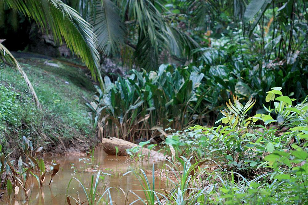 Ручей в малазийском штате Джохор (Johor) заросший аглаодорумом Гриффита (Aglaodorum griffithii).