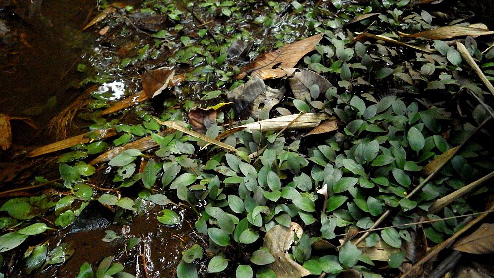 Криптокорина Эрвина (Cryptocoryne erwinii) в природе. Это растение отличается красивым соцветием необычной формы. Данный вид обитает в природе лишь в одном месте, расположенном в предгорье  Schwaner mountains в индонезийской части острова Калимантан.