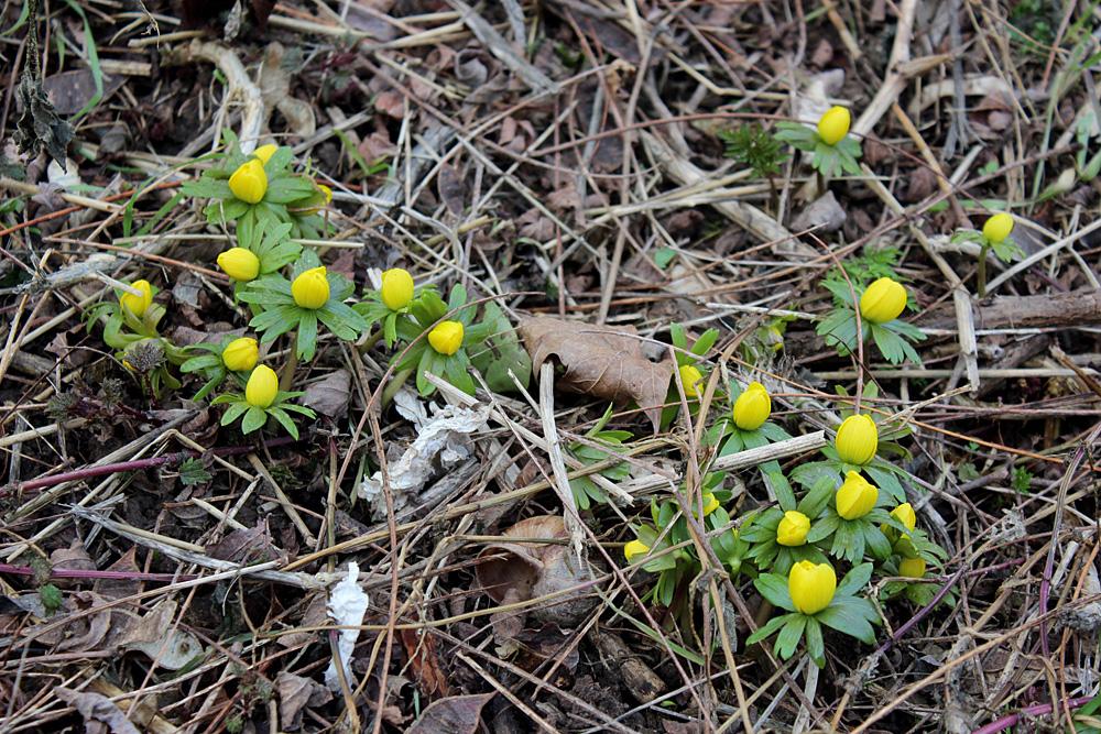 Весенник зимующий (Eranthis hyemalis) - в некотором смысле европейский аналог отечественной мать-и-мачехи (Tussilago farfara). Этот желтый лютик появляется на газонах Германии первым при наступлении весны.