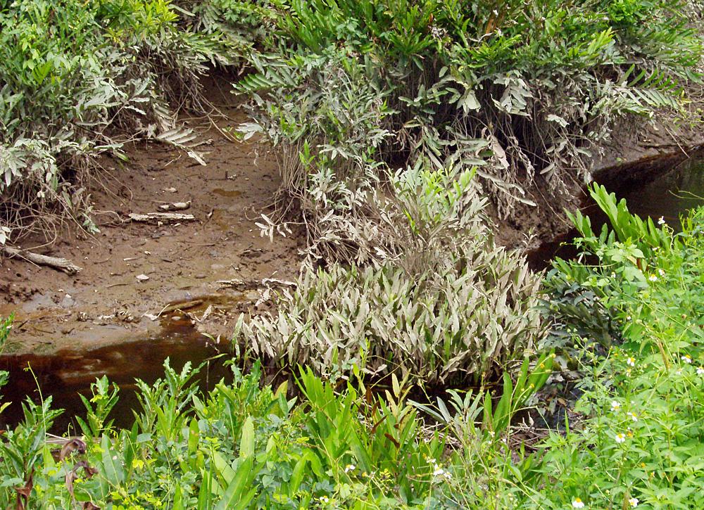Криптокорина реснитчатая (Cryptocoryne ciliata) в небольшом ручье недалеко от населенного пункта Timika в индонезийской части острова Новая Гвинея.