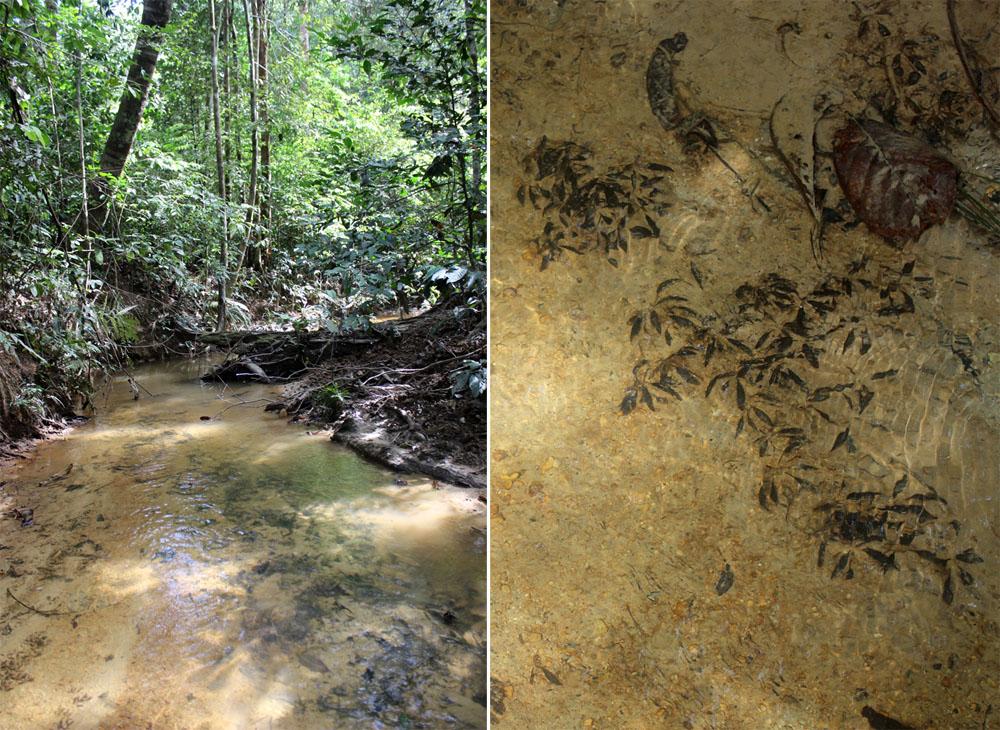 Биотоп криптокорины Нура (Cryptocoryne nurii var. nurii). Mersing, Johor, Malaysia.