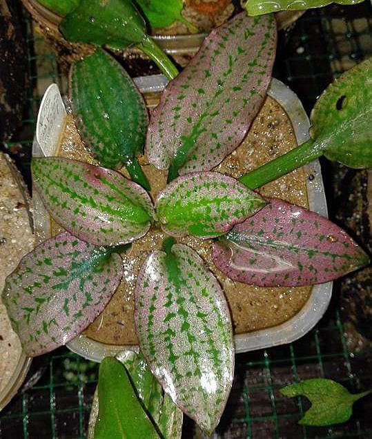 Криптокорина королевская (Cryptocoryne reginae). Первая мысль, которая приходит в голову при взгляде на это растение, что это очередной плод селекционной работы. Тем не менее, на фотографии всего лишь представлен природный экземпляр этой криптокорины.