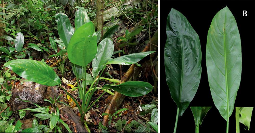 Вьетнамоказия Дау (Vietnamocasia dauae) в природе (А). Листовая пластина (B) растения имеет небольшие ушки у своего основания.