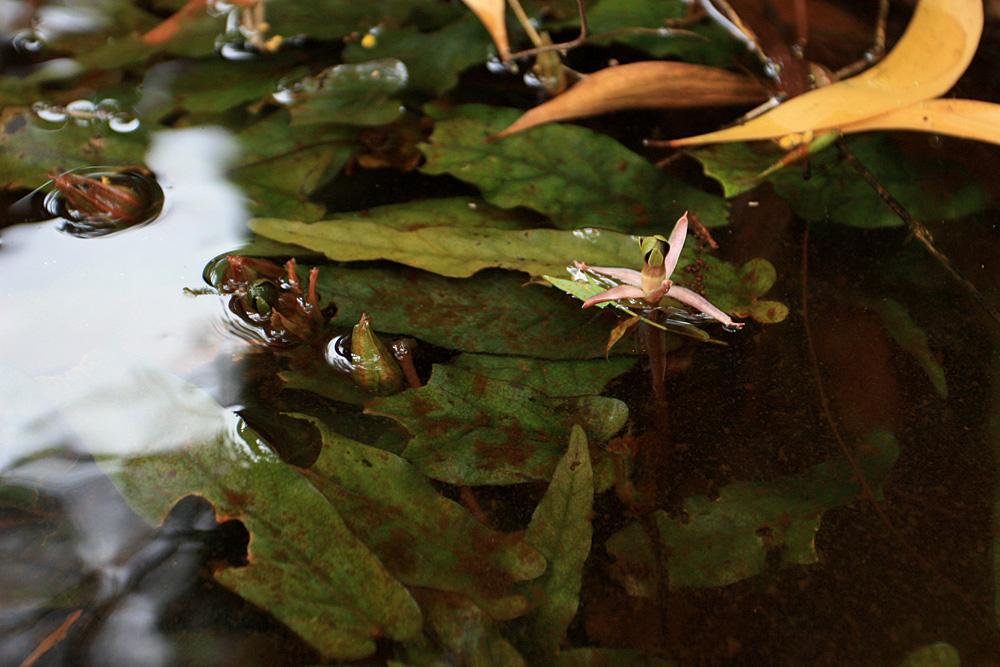 Барклайя длиннолистная (Barclaya longifolia) в ручье на острове Фукуок (Phu Quoc). Пучки ланцетных листьев, раскачивающиеся в быстротекущем потоке воды, напоминают языки пламени.