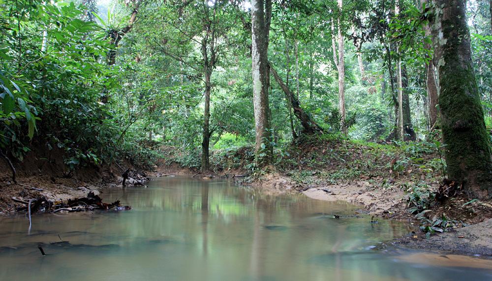 Берега и воды одного из притоков реки Паханг (Sungai Pahang) приютили у себя множество разнообразных растений семейства Ароидные (Araceae).