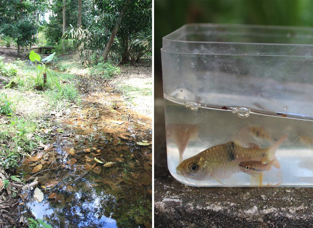 Небольшой ручей в рекреационной зоне недалеко от города Кота Тингги (Kota Tinggi) в малазийском штате Джохор (Johor) оказался настоящим Клондайком разнообразной ихтиофауны и водной флоры.