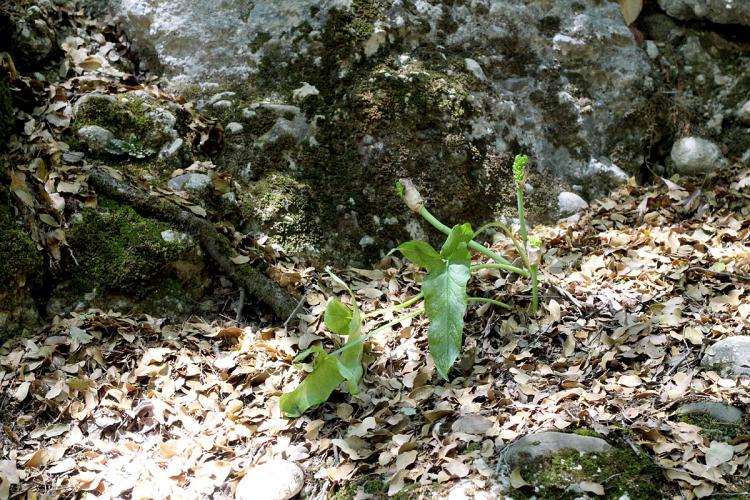 Arum dioscoridis