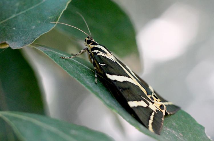 Panaxia quadripunctaria