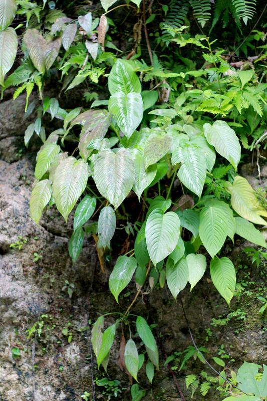 Schismatoglottis plurivenia