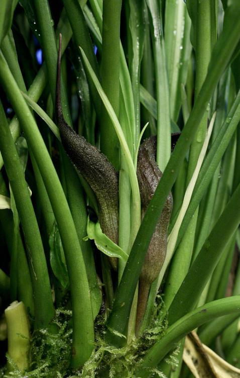 Lagenandra koenigii