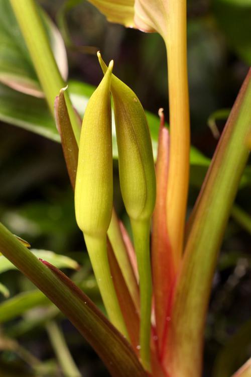 Homalomena griffithii