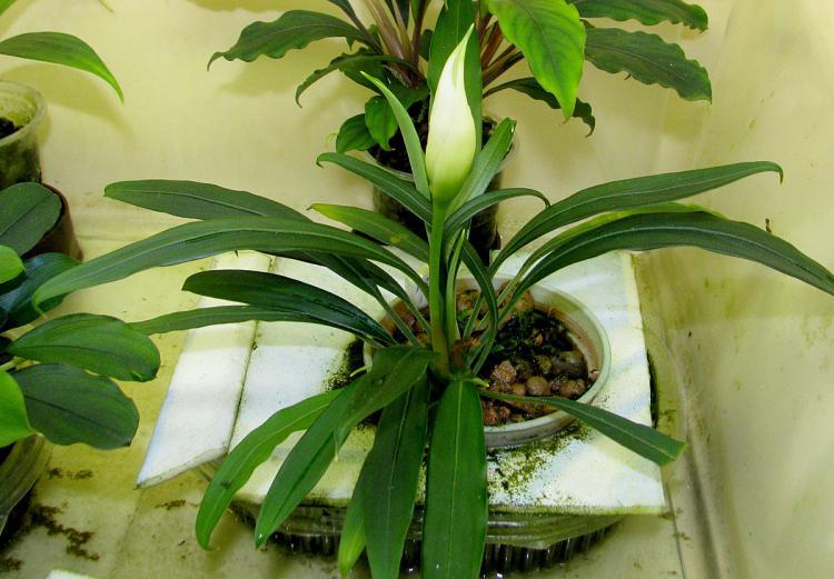 Aridarum caulescens