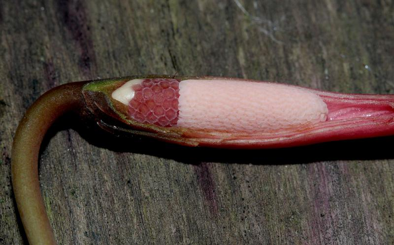 Piptospatha elongata