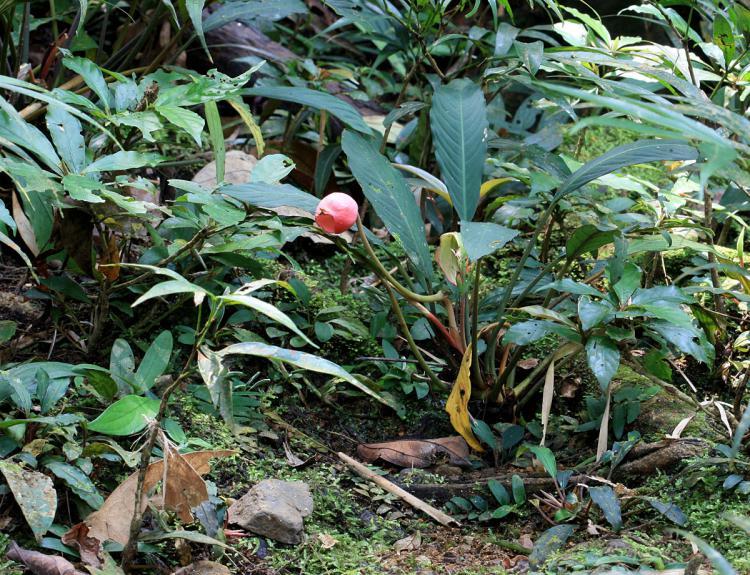 Piptospatha viridistigma