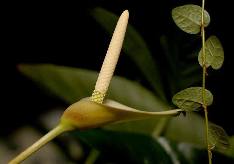 Hybrid Anubias nana x Anubias gigantea