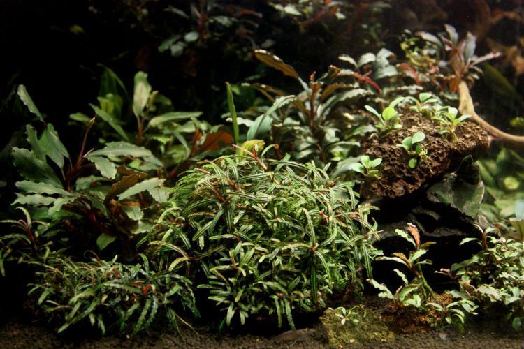 Картинки по запросу Bucephalandra Belindae-фото