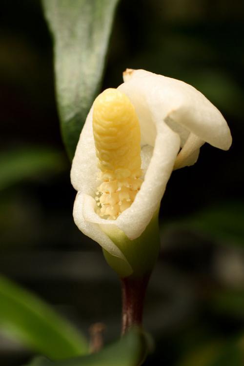 Bucephalandra Borneo 2013