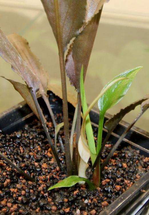 Cryptocoryne alba Red (W) White blossom
