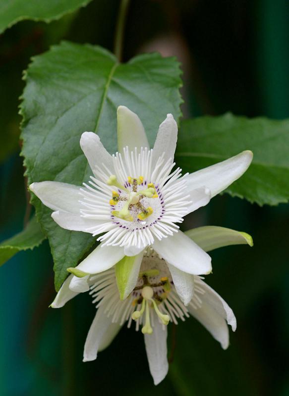 Passiflora malacophylla