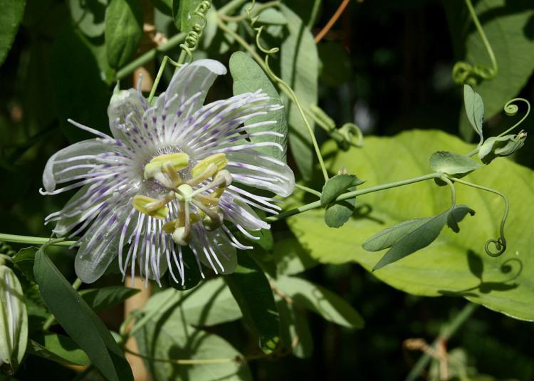 Passiflora tucumanensis