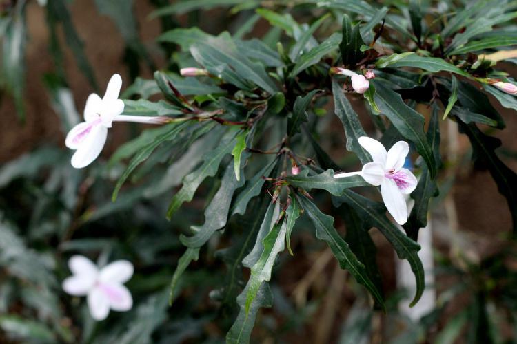 Pseuderanthemum sinuatum