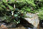 Bucephalandra bogneri