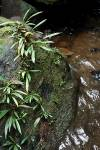 Homalomena paucinervia