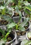 Hybrid Aridarum caulescens x Bucephalandra spathulifolia