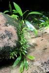 Aridarum nicolsonii