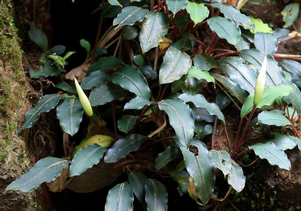 "Bucephalandra bogneri S.Y. Wong & P.C. Boyce in the wild. Note that many leaves suffer from anthracnose of unknown etymology (""brown spots""). Photo: D. Loginov."