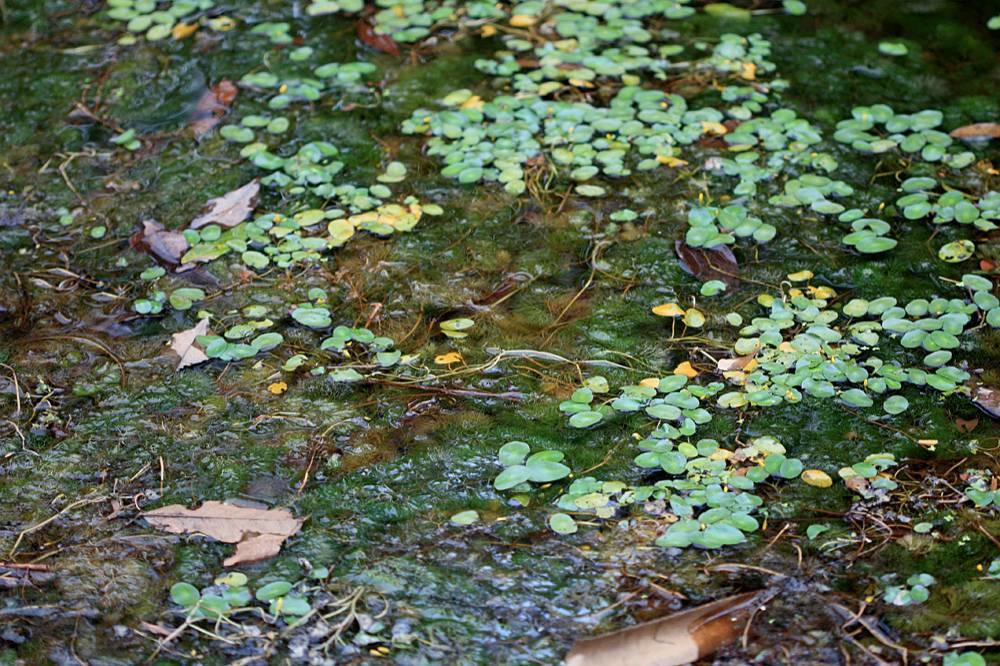 """Кабомба южная (Cabomba australis) - хорошо знакомое аквариумистам растение. Интересно, что по достижению поверхности воды, привычная нам """"елочка"""", начинает давать плоские плавающие листья."""