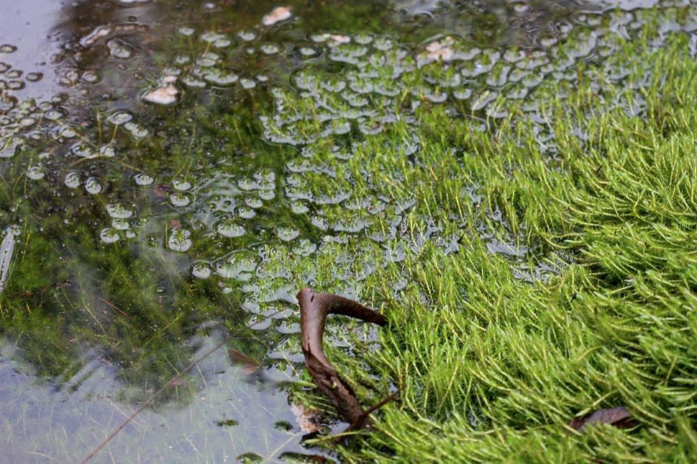 В плаунах (Lycopodium sp.) я не силен, поэтому даже не уверен, что представленное на фотографии растение все время растет в воде, возможно, оно там оказалось лишь в результате повышения уровня воды из-за продолжительных осадков.