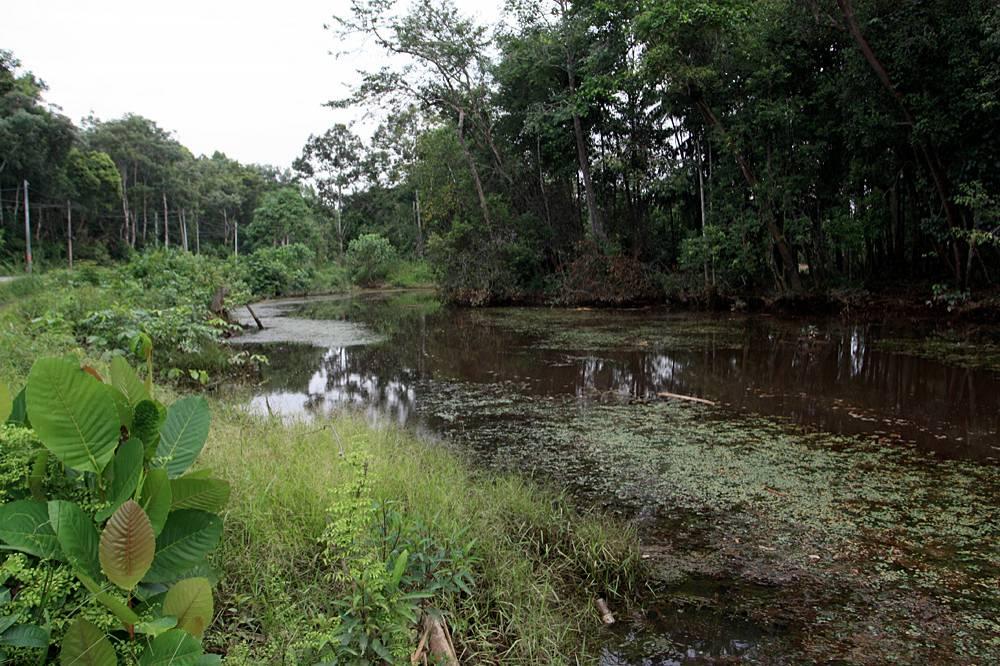 Старица реки Sedili Besar. Лес со стороны дороги был недавно вырублен, что обеспечивает доступ солнечных лучей на протяжении почти всего светового дня. В частности, таким подарком воспользовалась кабомба южная (Cabomba australis), которая захватила своей биомассой почти весь объем воды.