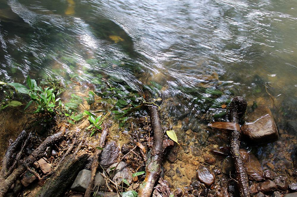 Криптокорина карликовая (Cryptocoryne pygmaea) у береговой кромки безымянной реки у моста Danat bridge.