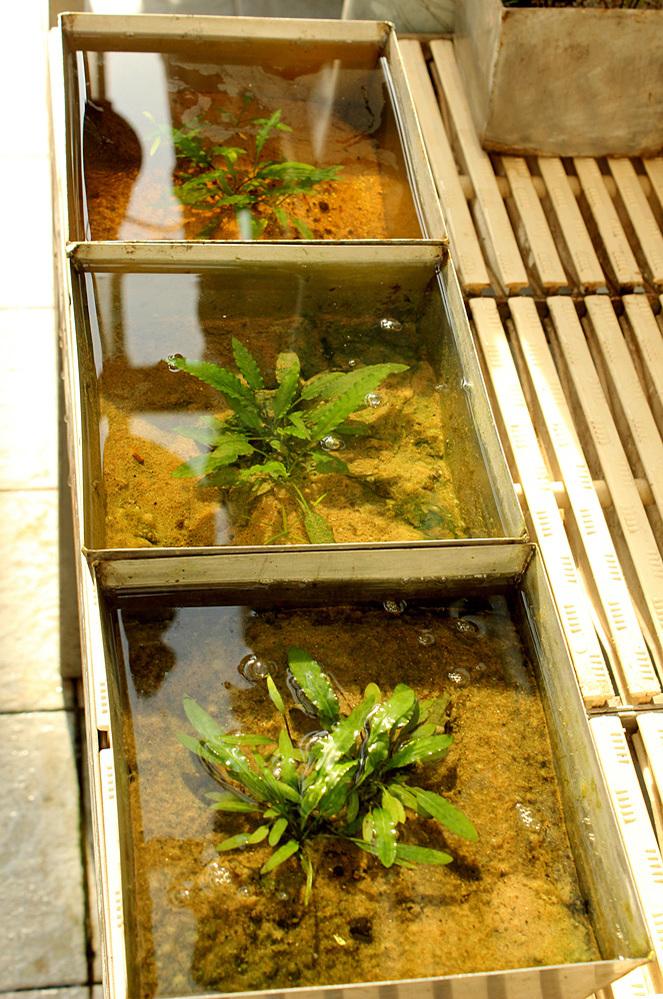 В оранжерее Главного ботанического сада им. Н.В. Цицина криптокорина карликовая (Cryptocoryne pygmea) была высажена в глубокие горшки, чтобы растения были полностью погружены под воду. Основной причиной такой посадки послужила информация о том, что в природе растение находится, как правило, в субмерсной культуре.