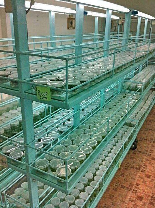 Стеллаж с буцефаландрами, выращиваемыми на питательной среде. Aquatic Plant Centre Thailand