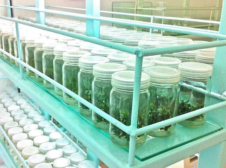Банки с буцефаландрами напоминают осенние дачные заготовки. Aquatic Plant Centre Thailand